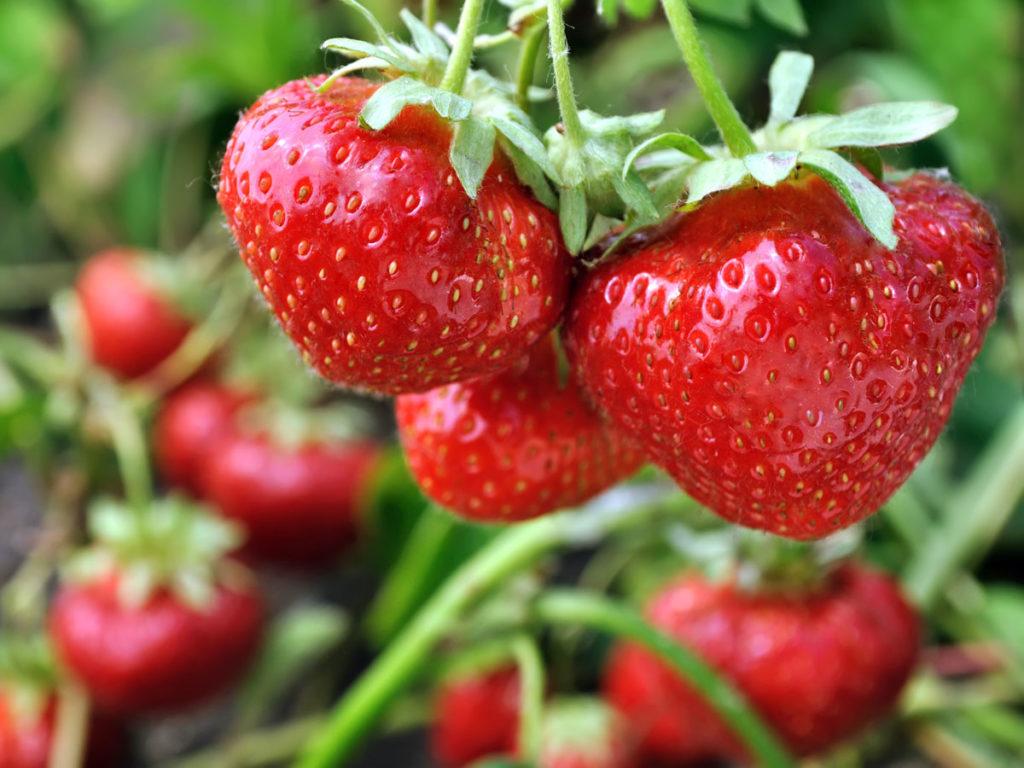 Φράουλες, όλα όσα πρέπει να γνωρίζουμε