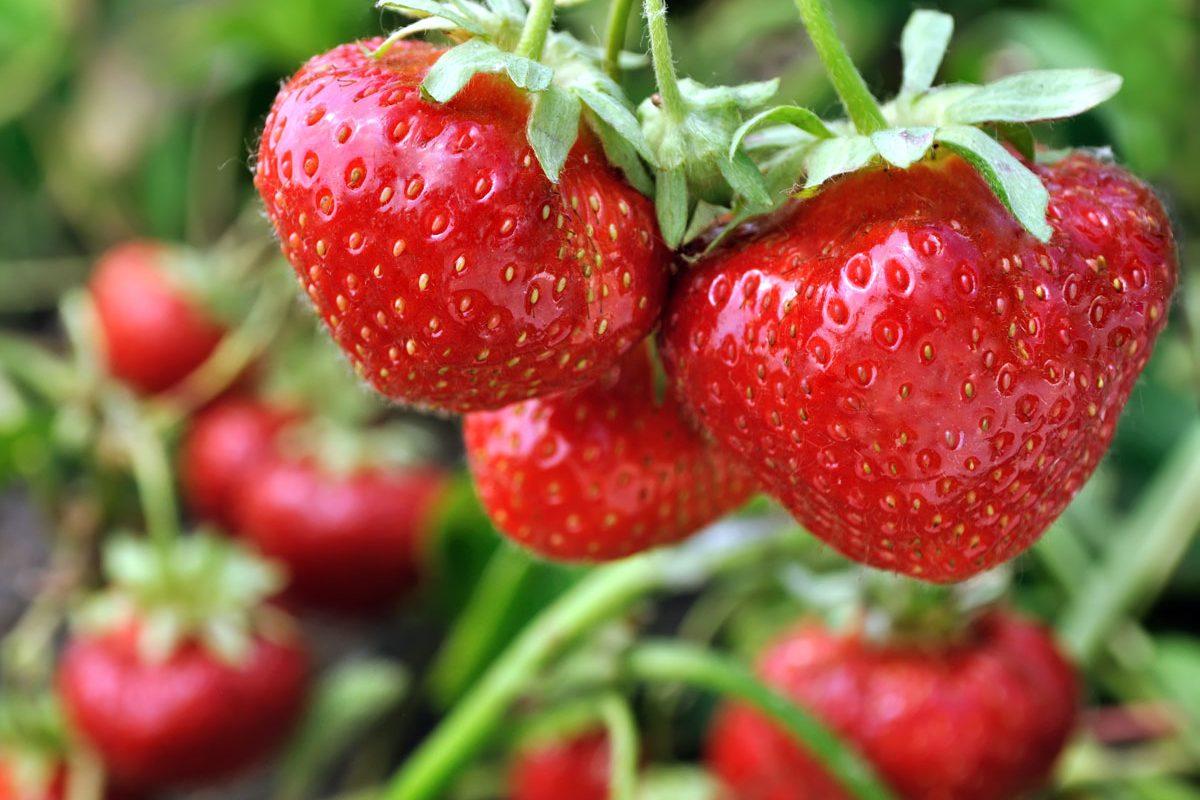 erdbeeren-pflanzen-sorten-zeitpunkt